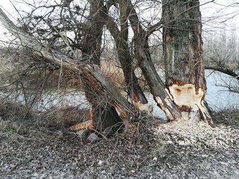 Hódrágás a Duna folyam 1836,7 fkm-ben, Dunasziget 2019. január 16.-án 2
