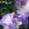 Kardvirág  /közelről/