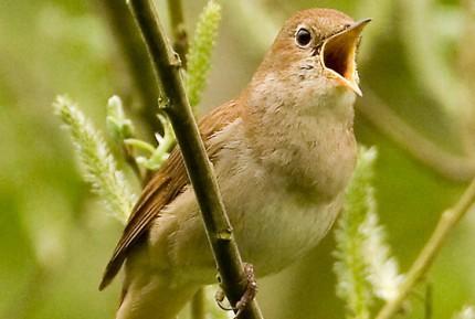 madár csicsereg