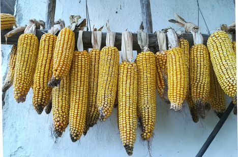 Hagyományos kukorica tárolás, Lipót 2018. szeptember 30.-án 2