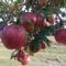 Mar_jol_szinesedik_a_teli_alma_2008297_2899_s