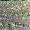 Palántázott áttelelő saláta