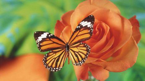 Pillangó-07