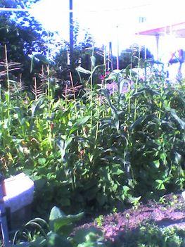 Kukorica -  Zea mays L.
