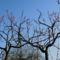 Őszibarack fa metszés.