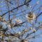 Virágzik a korai cseresznye.