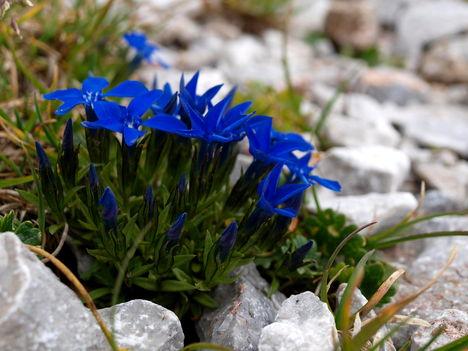 Hegyi virágok