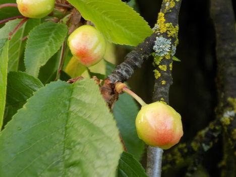 Kevés cseresznye lesz.