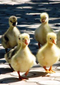 kicsi kacsák
