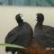 szarcsa_madarak