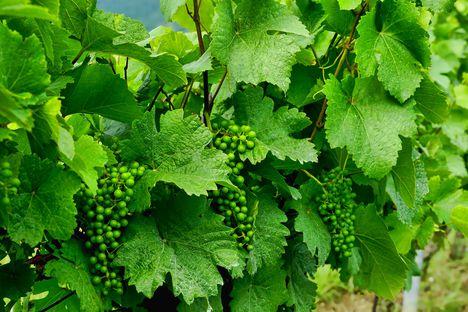 Zöld szőlőfürtök