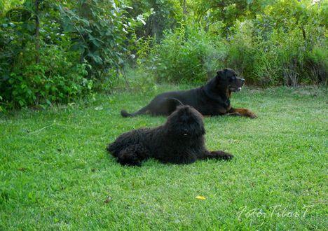 Rottweiler és segédje