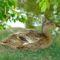 Bory  kacsa