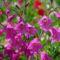 4 00_Gladiolus imbricatus_6July10_719