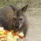 Benett kenguru az állatkertben
