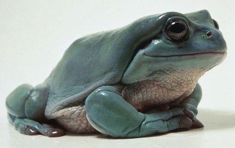 Kék levelibéka