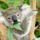 Koala_200136_66971_t