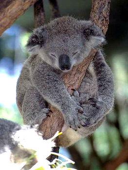 Koala a fán