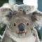 Koala és kicsinye