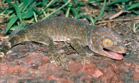 Toke - Tokay gecko