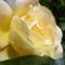 Színes rózsák (11)