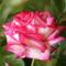 Színes rózsák (13)
