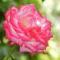 Színes rózsák (14)