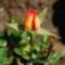 Színes rózsák (16)