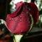 Színes rózsák (17)