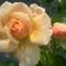Színes rózsák (1)