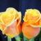 Színes rózsák (28)