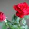 Színes rózsák (37)