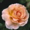 Színes rózsák (46)