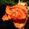Színes rózsák (47)