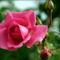 Színes rózsák (48)