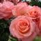 Színes rózsák (49)