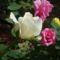 Színes rózsák (51)