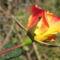 Színes rózsák (52)