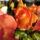 Színes rózsák (67)