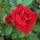 Színes rózsák (69)