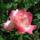 Színes rózsák (70)