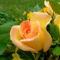 Színes rózsák (71)