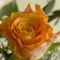Színes rózsák (78)