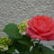Színes rózsák (7)
