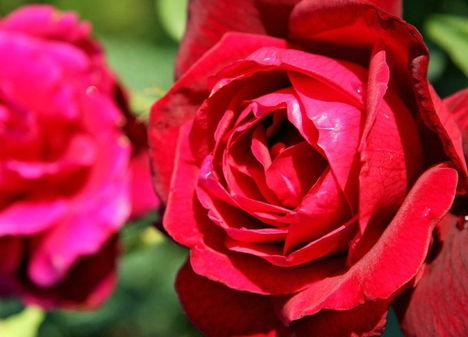 Színes rózsák (85)