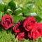 Színes rózsák (89)