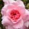 Színes rózsák (8)