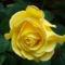 Színes rózsák (91)
