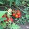 IMG_0184  a mini koktélparadicsom
