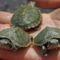 kisteknősök